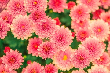 393560_flowers-summer-pink-nature-47360