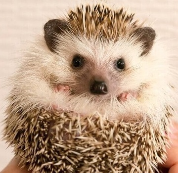 404906_hedgehog_breeding_800